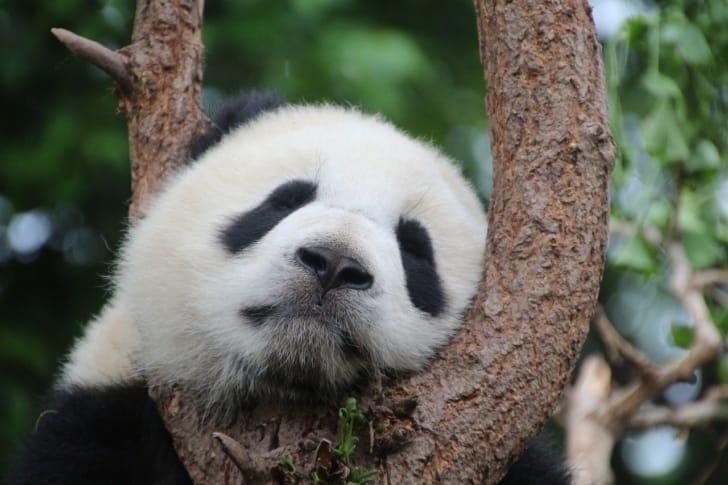 パンダが木にもたれかかっている画像