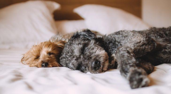 ベッドに犬が2匹寝転がる写真