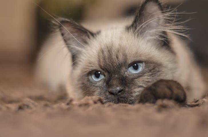 ぬいぐるみのようにかわいい猫の写真