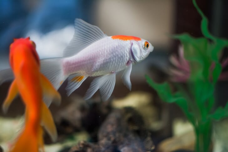 二匹の金魚が泳いでいる写真