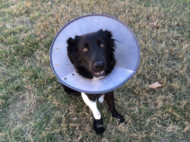 エリザベスカラーをつけた犬の写真